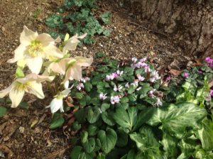 Helleborous niger & Cylamen coum