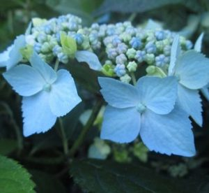 Hyd. Blue Deckle Flower