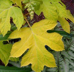 HydrangeaquercifoliaLittleHoney_Univ. Kentucky