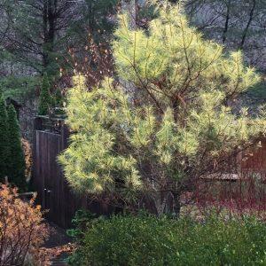 Pine 'Golden Ghost'