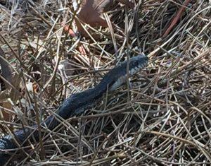Black Snake (2)